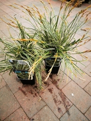 "Ziergras - Carex osh ""Evercream"" im 2 Liter Container"