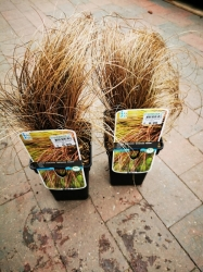 "Ziergras - Carex comans ""Bronze Form"" im 2 Liter Container"