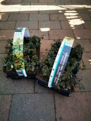 "Cotoneaster proc. ""Queen of Carpet"" 6er Packung"