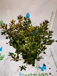 Rhododendron Bloombux Nugget im 9-11cm Topf