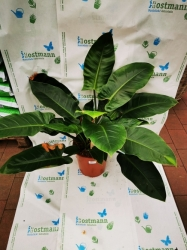 """Philodendron """"Imperial Green"""" ca. 60-80cm hoch"""